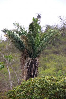Tagua-Palme