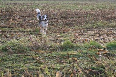 Tatezi auf dem Maisfeld