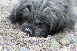 Wuschi im Sand