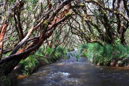 Im Polylepsis-Wald