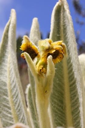 Die Blueten der Frailejones-Pflanze