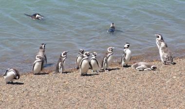 Península Valdès - Pinguine