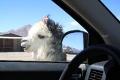 Neugieriges Lama
