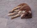 Strassenhund